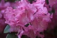 Arbres et arbustes - Planter le rhododendron