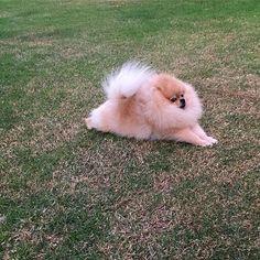 Pinked More #Pomeranian