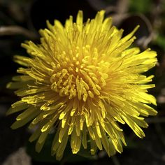 dandelion - My son always loves giving me these pretty flowers...he's so sweet!