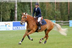 Finnhorse mare Hessin Lotta, 6 year old, participating to show jumping competition.