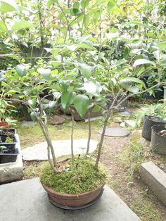 ネズミモチ   (omagaの庭で)
