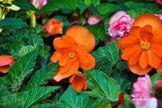 Begonia, Rose, Dark Grey, Garden, Flowers, Plants, Pink, Garten, Lawn And Garden