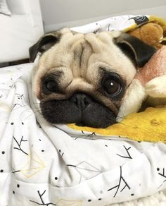 Find out additional info on pugs. Visit our web site. Cute Pugs, Cute Funny Animals, Cute Baby Animals, Animals Dog, Silly Dogs, Funny Dogs, Amor Pug, Pugs And Kisses, Baby Pugs