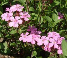 """Eine neue winterharte Blütenstaude in meinem Garten: Das Seifenkraut (Saponaria ocymoides = """"Kleines Seifenkraut"""", """"Rotes Seifenkraut"""", lt. Zander in Süd-Europa einheimisch, Nelkengewächs, verwandt mit Silene  und Lichtnelken) ist ein wunderbarer üppig blühender rosa Blütenteppich mit Bodendecker-Qualität, wächst anspruchslos und außerdem sehr schön überhängend aus Trögen oder über Trockenmaue ..."""