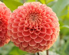 Name: Jomanda (#1290) Classification: Ball-Dahlien Color: orange Height: circa 105 cm Blossom size: 6 cm - 10 cm Grower, Year Geerlings, Cor (Netherlands), 1996