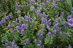 Autumn Glory Hebe Purple Flowering Plant for Partial Sun Evergreen Drought Tolerant Small Shrub Landscape Plant Sale Garden Shrubs, Landscaping Plants, Garden Plants, Small Evergreen Shrubs, Small Shrubs, Greenhouse Plants, Greenhouse Growing, Vegetable Garden For Beginners, Gardening For Beginners