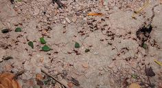 Leaf-cutter ants with cocoa tree leaves in Costa Rica, phot by Melissa Stewart