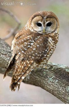 Spotted Owl - the enviros used this tiny creature to stop nearly all logging in the Northwestern USA
