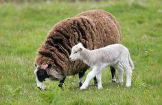 Moutons d'Ouessant - Finistère Bretagne