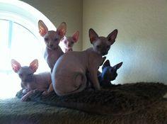 Sphynx Kittens, OMG!