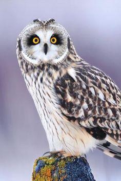 The Owl by mavis Beautiful Owl, Animals Beautiful, Cute Animals, Owl Bird, Pet Birds, Cute Owls Wallpaper, Short Eared Owl, Photo Animaliere, Owl Eyes