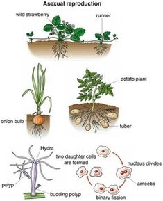 Reproduction- In this model we see a representation of asexual reproduction, by which an offspring arises for a single parent. Science For Kids, Life Science, Science And Nature, Primary Science, Strawberry Plants, Science Cells, Plant Science, Biology Classroom, Plants