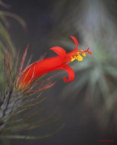 0495 Tillandsia funckiana (Air Plant) by Quim Granell ✅ / Air Plants, Animals, Animales, Animaux, Animal, Animais