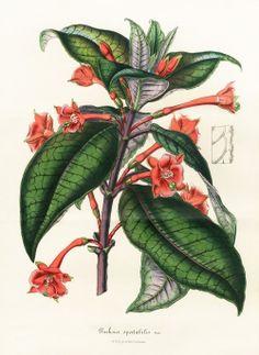 Fuchsia speclabilis  -  Louis Van Houtte, Flore de Serres et des Jardins de l'Europe Botanical Prints 1851