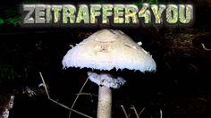Riesenschirmling Parasol Riesenschirmpilz Macrolepiota procera mushroom ...
