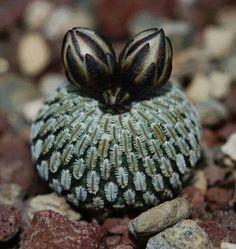 ✿* Cactus *✿* Suculentas *✿                                                                                                                                                                                 Más