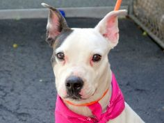 SAFE 6-2-2015 by  Rescue Dogs Rock NYC --- Manhattan Center PISELLI – A1037120  FEMALE, WHITE / BROWN, PIT BULL MIX, 1 yr STRAY – STRAY WAIT, NO HOLD Reason STRAY Intake condition UNSPECIFIE Intake Date 05/22/2015