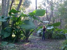 Giant Elephant ear plants, Holy moly!! Had to pin for the sheer size of these elephant ear plants!!