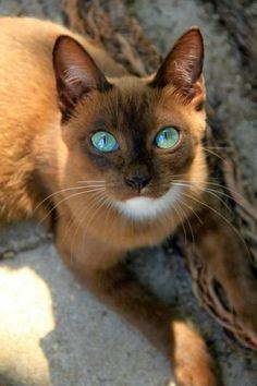 Animal, chat marron, yeux bleus