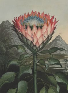 This is a massive amount of flower power: The Artichoke Protea from the Temple of Flora published by Robert Thornton (British, 1768–1837). Hand-coloured aquatint engraving, from the quarto edition, Sept. 1st, 1811