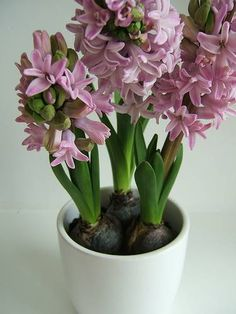 Growing hyacinths indoors during the winter
