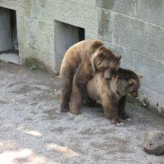 Bären beim Sex - Der freundliche Onlineshop