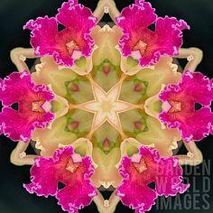 Orchids Kaleidoscope by Jenny Lilly