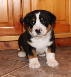 greater swiss mountain puppy, come to mama