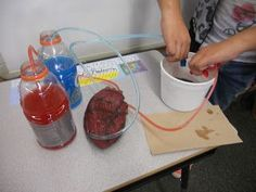 heart circulation model with oxygenated and deoxygenated blood