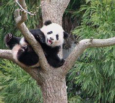 Baby panda, Bao Bao, loves to play in the trees at National Zoo!