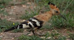 A Hoopoe (Hærfugl) visited my garden 28.04.17. I can hear him every morning near by the house, sounds like an alarm. Latin name: Upupa epops