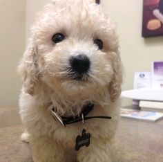 This is 3-month-old Bentley, our Bichon Poodle mix. He is super cute and fun to have around. He has brought so much joy to us for the past 2 years with his energetic and playful self. We are so glad to have him. #puppy #iambentley