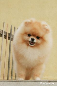 Marvelous Pomeranian Does Your Dog Measure Up and Does It Matter Characteristics. All About Pomeranian Does Your Dog Measure Up and Does It Matter Characteristics. Cute Baby Dogs, Cute Dogs And Puppies, Cute Baby Animals, Animals And Pets, Funny Animals, Doggies, Cute Pomeranian, Little Dogs, Beautiful Dogs