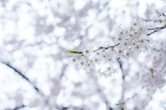 #beautiful #bloom #blooming #blossom #blur #branch #bright #cherry blossom #close up #color #delicate #flora #flower #flowers #growth #nature #outdoors #sakura #season #spring #sun #tree #winter