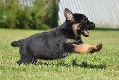 German Shepherd Puppies, German Shepherds for Sale, German ...