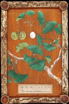 petitpoulailler:    stilllifequickheart: 1878 Unknown (Japan) ~Ginkgo Biloba