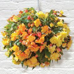 SHADE LOVING Tuberous Begonias in Hanging Baskets.