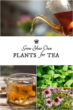 you love drinking tea and gardening why not grow your own speciality teas? This list shows a variety of plants you grow for their leaves flowers fruits seeds and roots to produce delicious homemade teas. Diy Herb Garden, Herbs Garden, Mint Garden, Fruit Garden, Tropical Garden, Indoor Garden, Tea Plant, Homemade Tea, Types Of Herbs