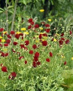 Red Perennials, Herbaceous Border, British Flowers, Astrantia, Cut Flower Garden, Types Of Soil, Plantation, Months In A Year, Cut Flowers