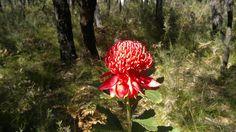 Waratah NSW Flower Emblem Australian Wildflowers, Wild Flowers, Christmas Ornaments, Holiday Decor, Wildflowers, Christmas Jewelry, Christmas Decorations, Christmas Decor