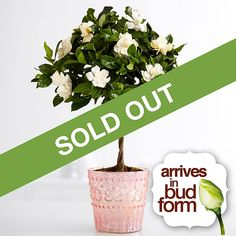"Beautiful and fragrant, our deluxe white gardenia topiary arrives ready to bloom! This is a wonderful gift for any occasion, or for home decorating. Gift arrives standing approximately 20"" tall in standard basket. Care instructions are included."