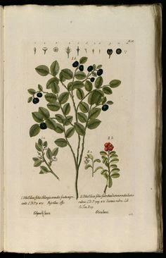 Knorr, G.W., Thesaurus rei herbariae hortensisque universalis, vol. 1: t. 163 (1750-1772)