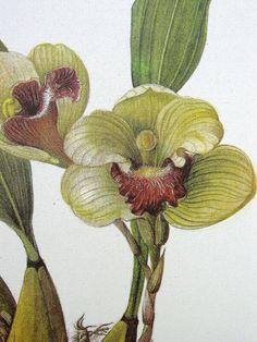 Vintage Botanical Print, Orchid Illustration ,  Bifremaria harrisoniae, No.42 on Etsy, $8.00