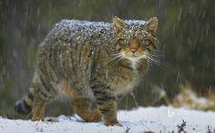 Scottish Wild Cat !!!