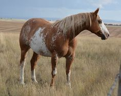 Broodmares bred to APHA & AQHA Stallion at South Shadow Angus + Paint and Quarter Horses American Paint Horse, American Quarter Horse, Quarter Horses, Cattle For Sale, Palomino, Beautiful Horses, Beautiful Creatures, Barnwood Builders, Paint Horses