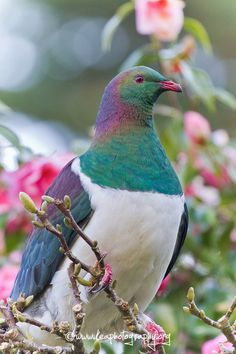 Kereru-New Zealand wood pigeon <3  We have a family of these visit home <3