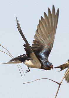 barn swallow pictures | ... >> South Africa birds in flight >>…