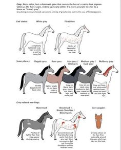Detail of the poster Guide to Horse Colors and Patterns by majnouna.  THE GREY or GRAY GENE (GG Gg) is the dominant gene responsible for the gradual and progressive de-pigmentation (fading) of the carrying horse. Gray cannot be considered a base-color, or a dilution, but rather a gene which slowly removes pigment from the coat. Gray is considered to be the 'strongest' of all coat modifiers,  and acts upon any base-color regardless of the carrying horse's phenotype.