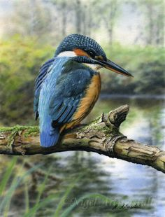 Kingfisher / Art by Nigel Artingstall Common Kingfisher, Kingfisher Bird, Wild Animals Pictures, Bird Pictures, British Wildlife, Wildlife Art, Animal Painter, Colorful Birds, Exotic Birds