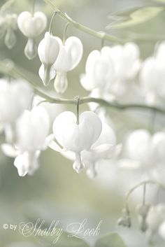 White Bleeding Heart - never knew they existed, other than red ones. Gorgeous! #Ref